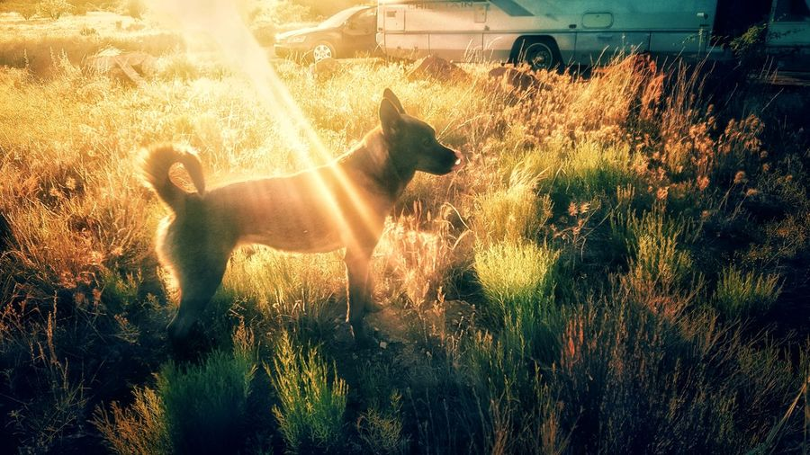 Outdoors Animal Themes Nature Mammal Edit Junkie Klique Klique Dog Outdoors Sunset_collection Sunbeam Camping Hiking Fade Edited My Way Sunlight Tranquil Scene Arid Climate Landscape Hello World Samsungphotography From My Point Of View Eye4photography  Illuminated Live For The Story