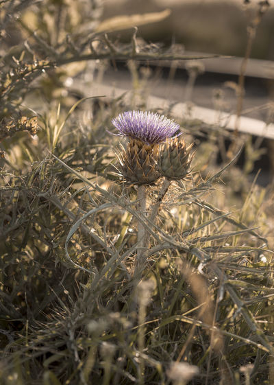 Thistle Plant Growth Flower Nature Flowering Plant Close-up No People Beauty In Nature Thistle Outdoors Focus On Foreground Day Land Fragility Field Vulnerability