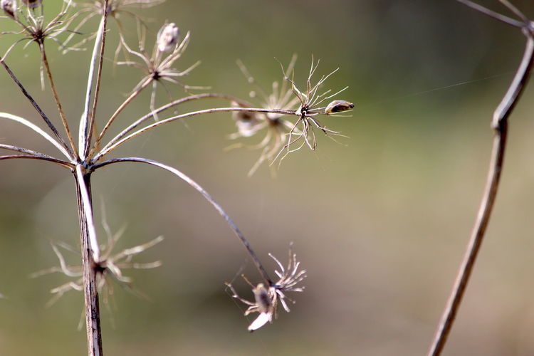 Close-up Plant Focus On Foreground Beauty In Nature No People Nature Day Growth Fragility Vulnerability  Flower Outdoors Flowering Plant Selective Focus Plant Stem Dry Tranquility Dried Plant Twig Animal Dead Plant Wilted Plant Spiky Dandelion Seed