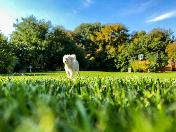Playing with my dog Sunny Fun Poodel depth of field Garden Playing Dog One Animal Animal Animal Themes Green Color Day Sky Pets No People Grass