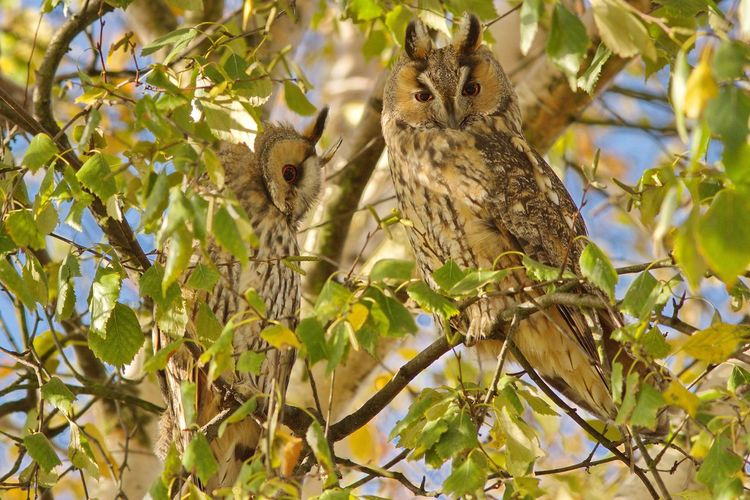 Close-up of owls perching on tree branch