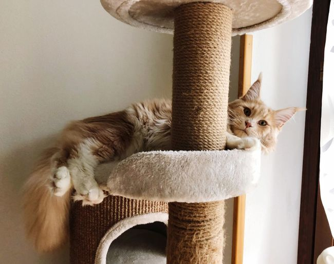 💕 Like Follow4follow Mainecoon EyeEm Selects Animal Animal Themes Indoors  Mammal Home Interior Domestic Cat Cat Pets