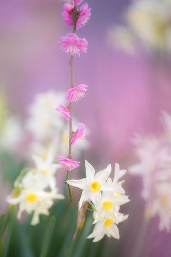 しだれ梅と水仙 Plum Blossom Plum Spring OSAKA Japan Japan Photography Flower Head Flower Defocused Pink Color Females Purple Flowerbed Blossom Springtime