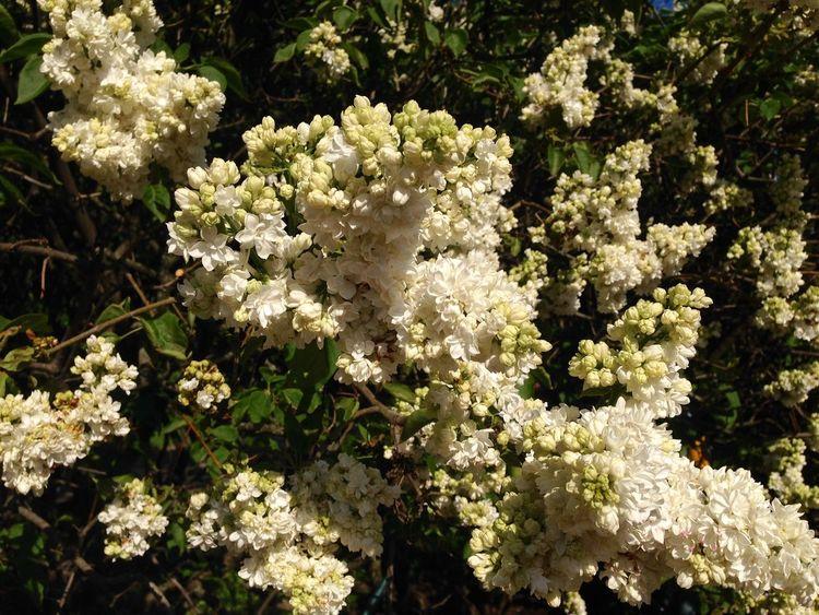 """""""Monique Lemoine"""" White Lilac Flowers Flowerporn Syringa Flower Collection Flowers,Plants & Garden"""