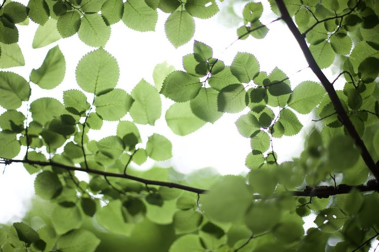 Low angle view of leaves growing on tree against sky