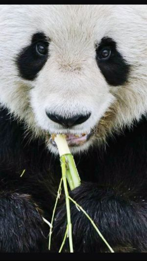 Panda One Animal Animal Wildlife Looking At Camera Nature Outdoors Day Beautiful Animal Portrait.