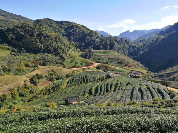 Green Tea Farm Green Tea Leaf Green Nature Green Plant Green Background Landscape Nature Mountain Agriculture Sky Outdoors Organic Farm Garden Tea Bueatiful Bueaty In Nature Mountain View Mountains And Valleys Farm Nature Backgrounds Day Doi Ang-Khang  Changmai Thailand