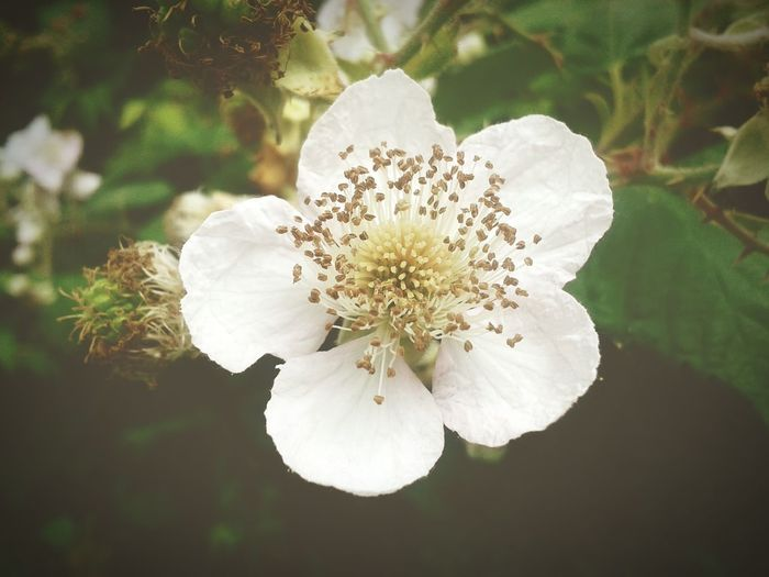 Wild Flowers Bramble Flower