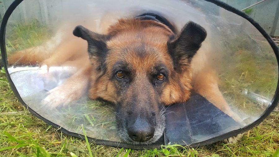 Poor dog :( Mydog♡ Ilovemydog Mypet Afteroperation Poordog Poor  Dog Germanshepherd