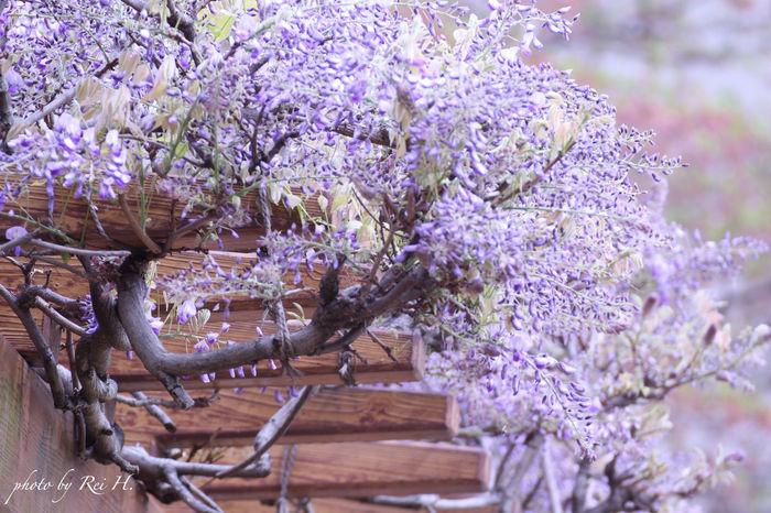 relief 藤の花 藤棚 花 望遠 Wisteria Wisteriatrellis Flowers Telephoto Tamron Canon