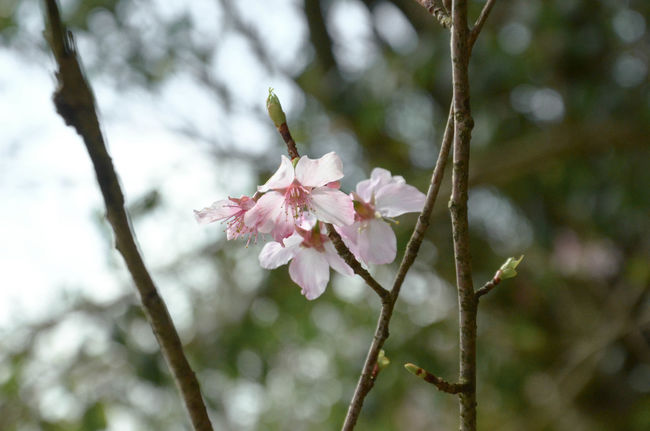 YangMinShan's beautiful SAKURA for everyone. I finished my work today and go to bed now. Wish everybody have a nice day. Flowers Winze's Life Taipei Enjoying Life
