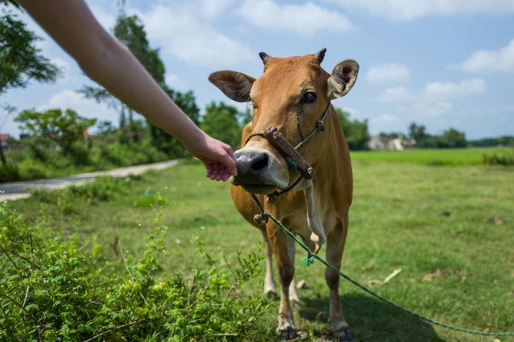 Cow near Hoi An, Vietnam Green Hoian, Vietnam Animal Brown Cow Meadow