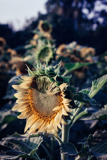 Beauty In Nature Close-up Day Flower Flower Head Flowering Plant Focus On Foreground Fragility Freshness Growth Inflorescence Land Nature No People Outdoors Petal Plant Pollen Sepal Spiky Sunflower Vulnerability  Wilted Plant