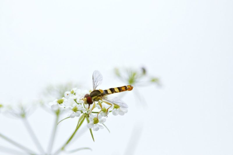 Animal Themes Beautiful Beautiful Nature Beauty In Nature Beauty In Nature Close-up Day Field Fieldscape Flower Focus On Foreground Fragility Growth Insect Insect Paparazzi Nature Nature On Your Doorstep Nature_collection Naturelovers Outdoors Selective Focus White White Background White Color Wildlife