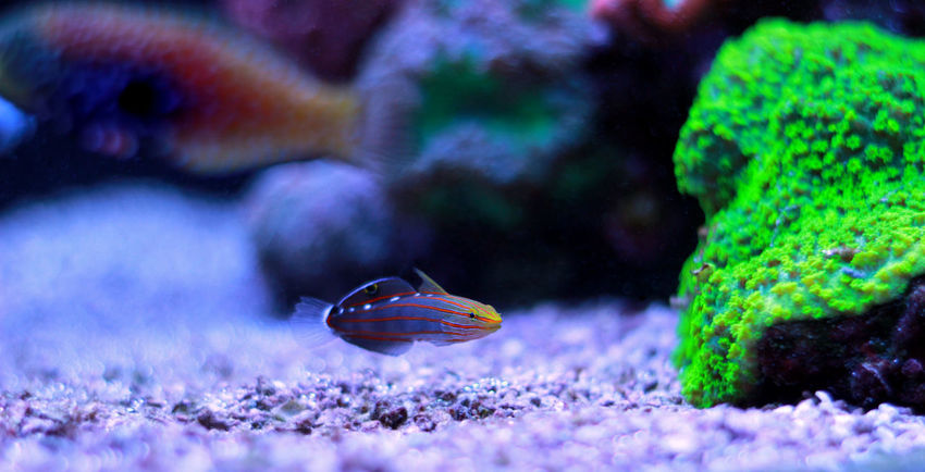 Animal Themes Animal Wildlife Animals In The Wild Beauty In Nature Close-up Day Fragility Growth Nature No People One Animal Outdoors Sea Life Selective Focus UnderSea Underwater Water Wildlife Goby Fish Goby Fish Photography Undersea Life Reef Tank Aquatic