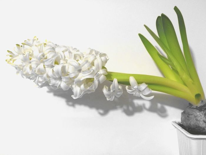 Scent Scent Flowers White Flower Hyacinth White Hyacinth White Background White Color White Flower No People Close-up Day