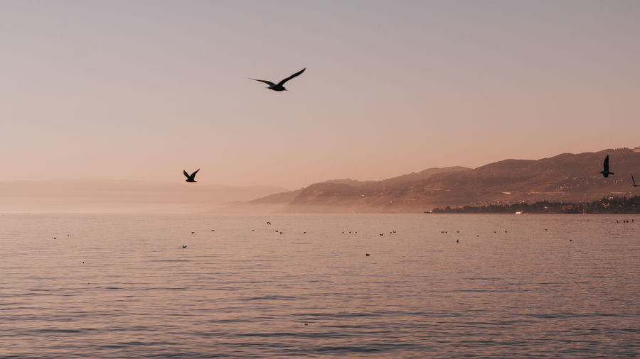 Geneva Lake Lac Léman Animal Themes Animal Wildlife Animals In The Wild Beauty In Nature Bird Day Flying Mid-air Mountain Nature No People One Animal Outdoors Scenics Sea Silhouette Sky Spread Wings Sunset Swiss Tranquil Scene Tranquility Water