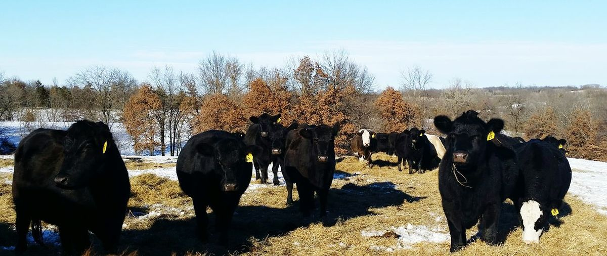 Cows on grassy field
