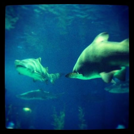 Tiger shark Bangkok Sealife Shark Holiday