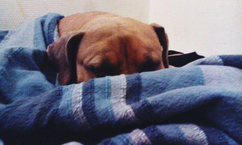 Peekaboo Amstaff Hide And Seek So Tired Dogs Of EyeEm A Dogs Life Blanket Time