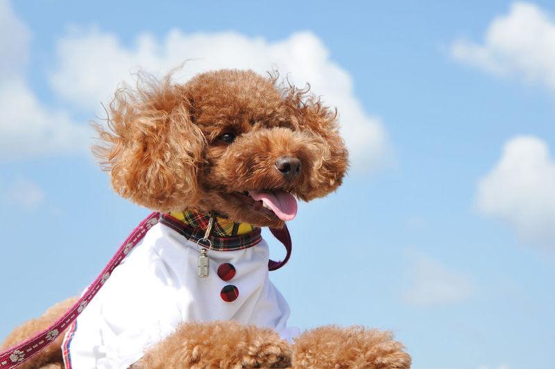 プードル Scarf Poodle Nature Pet Collar Brown Clothing Cloud - Sky Day Low Angle View No People Vertebrate Sky Canine Dog Domestic Pets Animal Domestic Animals One Animal Animal Themes Mammal
