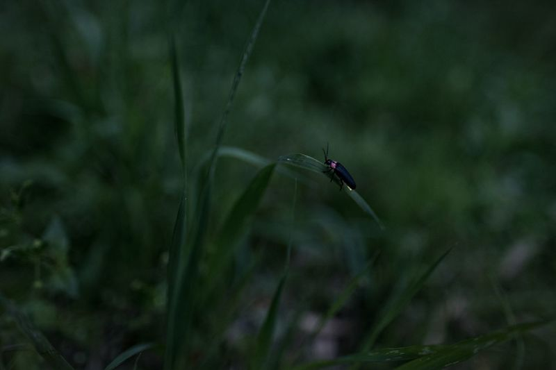 Firefly Outdoors Green Color Focus On Foreground Beauty In Nature Japan Night Eye Em Nature Lover