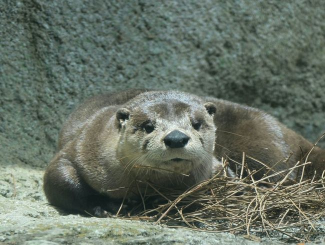 Otters Otter Grandfather Mountain Animals North Carolina Boone NC Traveling Travel Vacation Showcase June