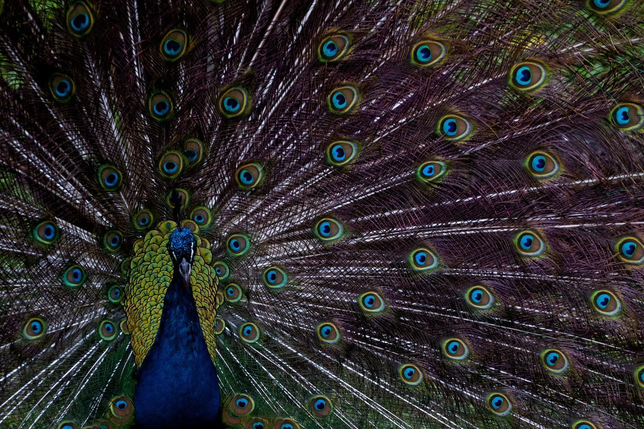 peacock, feather, peacock feather, animal themes, bird, animal, fanned out, animal wildlife, vertebrate, animals in the wild, one animal, full frame, no people, close-up, multi colored, backgrounds, green color, natural pattern, beauty in nature, day, outdoors
