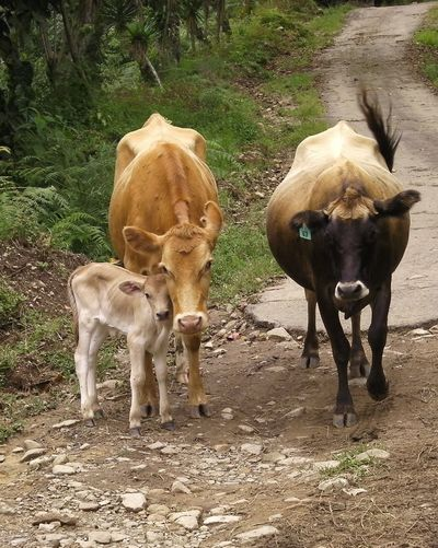 Two Is Better Than One Cows Mother And Child Costa Rica Country Life