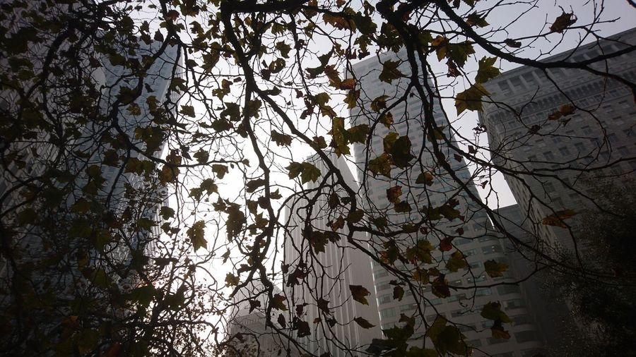 Trees in downtown San Francisco. San Francisco SF California CA United States USA Downtown District Downtown CBD Market Street Financial District  Skyscraper Skyscrapers Haze Gray Sky Up Above Urban Nature Urban Beauty Tree Backgrounds Full Frame Pattern Close-up Sky