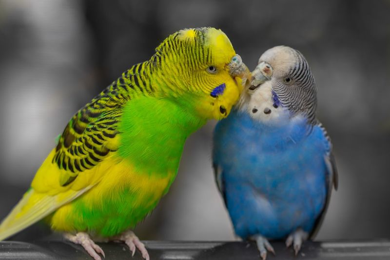Close-up of budgerigars