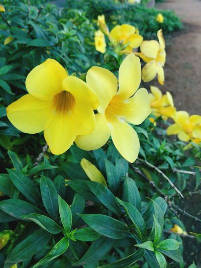 Flower Yellow Plant Nature Growth Petal Beauty In Nature Fragility Blooming Freshness Close-up Outdoors Flower Head No People Day