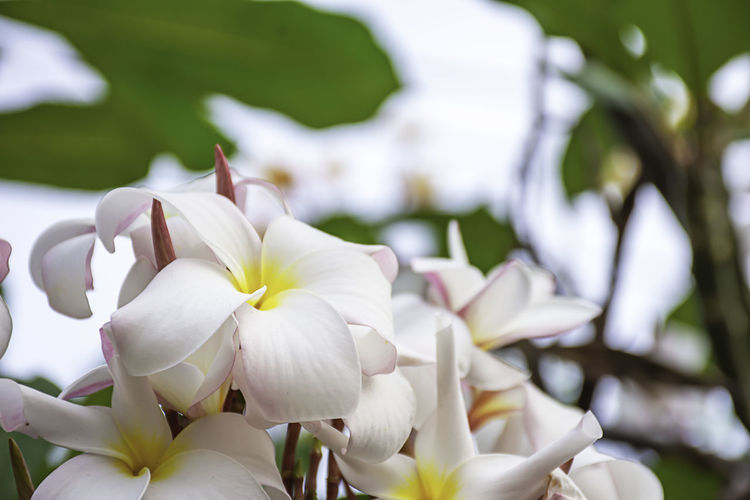 Soft pink flowers or Plumeria obtusa in garden. Flowering Plant Flower Petal Plant Vulnerability  Beauty In Nature Fragility Freshness White Color Growth Flower Head Close-up Inflorescence Focus On Foreground Nature No People Day Frangipani Selective Focus Outdoors Springtime