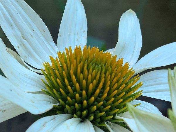 Beauty In Nature Blooming Blossom Botany Close-up Daisy Day Detail Flower Flower Head Focus On Foreground Fragility Freshness Growth In Bloom Nature No People Outdoors Petal Plant Pollen Selective Focus Softness Stamen Yellow