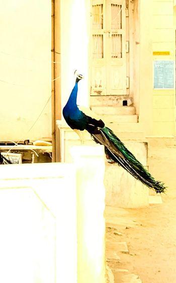 Peacock Peacock Blue Peacockphotos Peacock Tail Peacock Beauty Birdincity Bird No People Outdoors Naturelovers EyeEm Selects