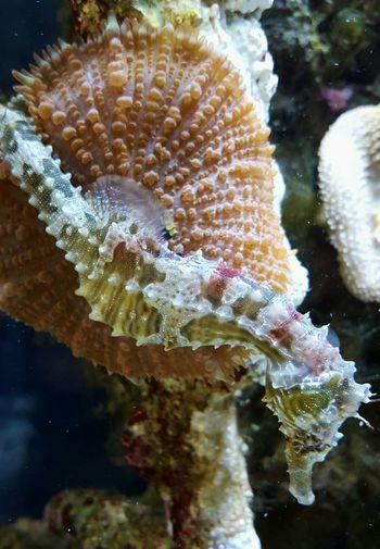 Hanging Out Seahorses Seahorse Coral Corals Coral Reef Mushroom Coral Mushroom Anemone Relaxing Hippocampus Erectus Seahorse Aquatic Life Aquarium Life Nature Photography Nature Natural Beauty