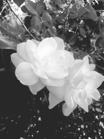 White rose Flower Beauty In Nature Flowering Plant Petal Growth Plant Vulnerability