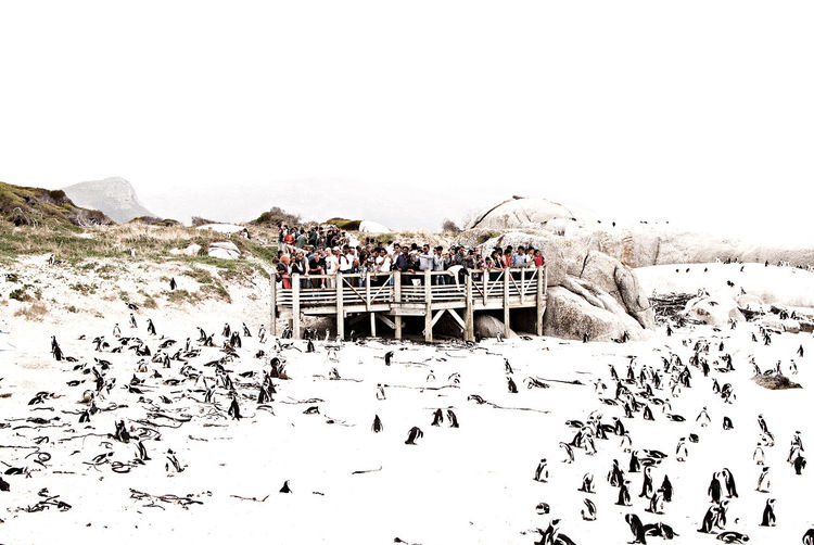 People looking at penguins on snow covered field