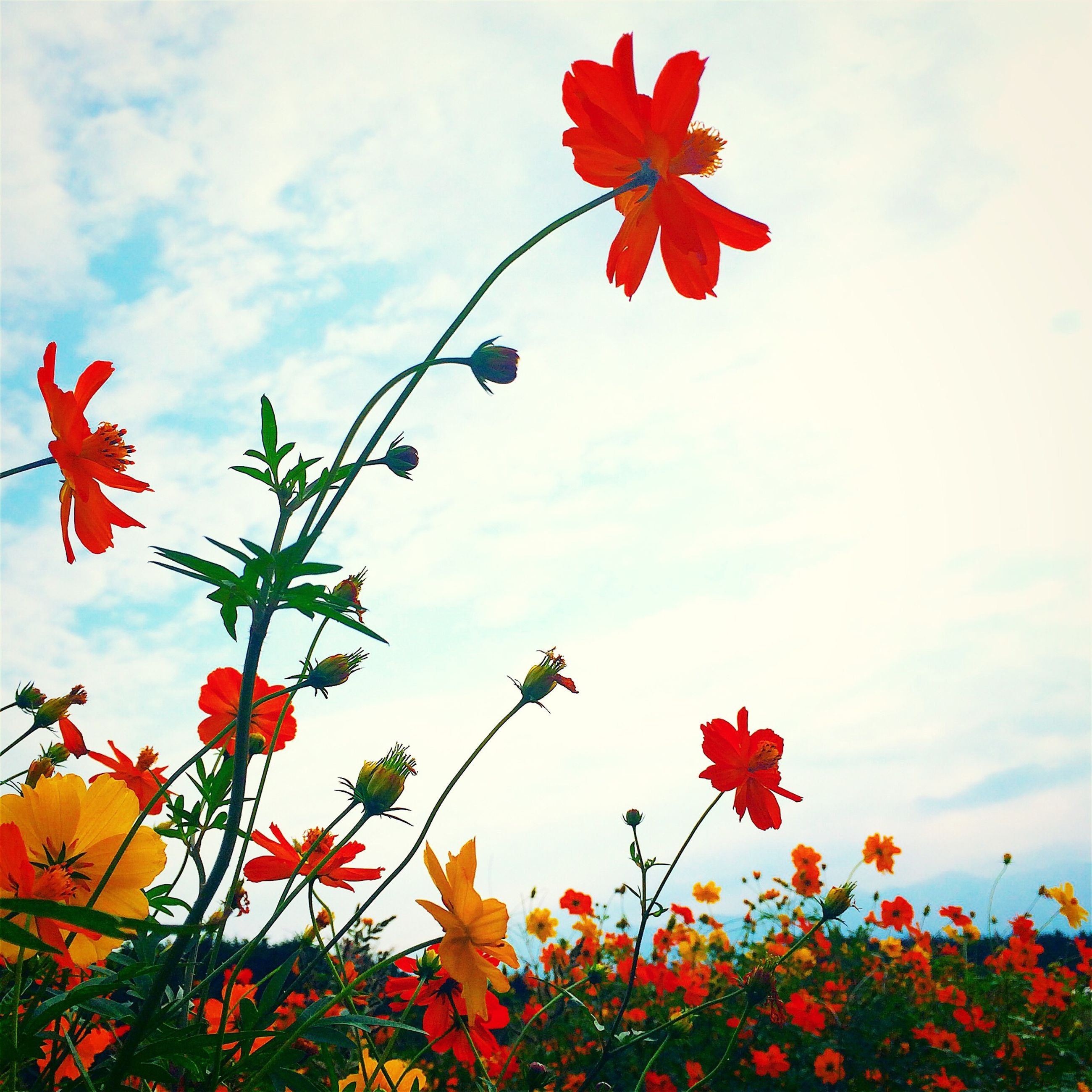 flower, red, freshness, sky, low angle view, growth, fragility, beauty in nature, cloud - sky, petal, nature, cloud, blooming, blossom, in bloom, cloudy, plant, springtime, day, outdoors