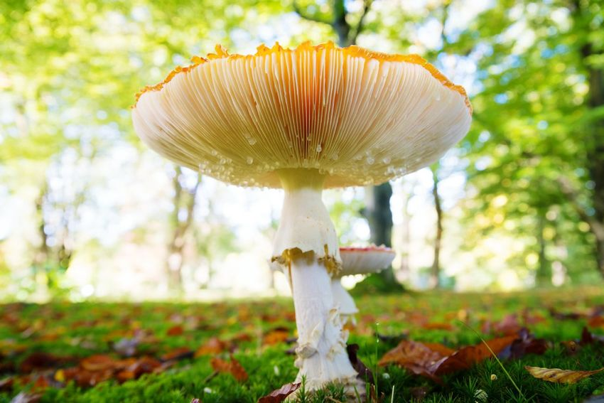 Autumn Fly Agaric Mushroom Fly Agaric Growth Toadstool Close-up Mushroom Freshness Beauty In Nature Fungus No People Poisonous, Park, Forest Outdoors Nature Fragility Forest Uncultivated Tree Red Grass Sunlight Field Vegetable