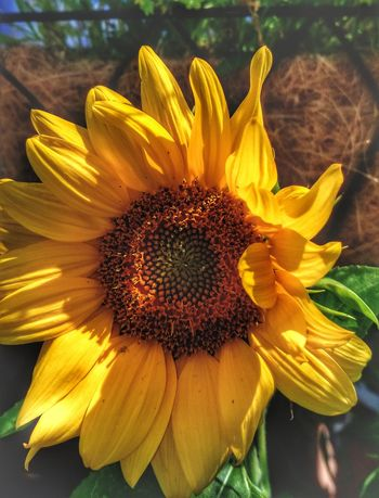 Good afternoon. .. 😎🌻 Flower Petal Fragility Flower Head Beauty In Nature Freshness Nature Plant Yellow Outdoors Pollen Close-up Growth Day No People Springtime Summer Water EyeEm Nature Lover EyeEm Best Shots Sunflower New England