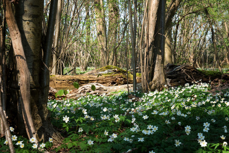 Forest with a lot of anemone flowersNature Tree Trunk Growth Forest Tranquility Beauty In Nature SunlightLush - Description Scenics No People WoodLand Day Plant Anemone Flower Green White