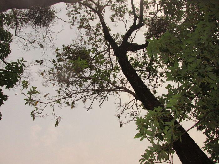 Mybackyard Laureltree Tree