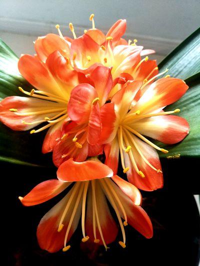 君子兰 Flower Head Flower Day Lily Petal Close-up Plant Blooming