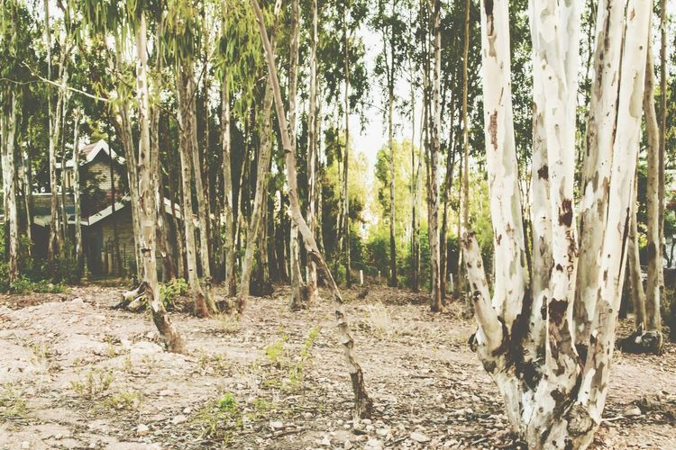 Trees Long Trees Vintage Photo Open Edit Nature Photography Nature's Diversities Landscape Vivid Light And Shadow Great Outdoors - 2016 EyeEm Awards Shades Of Nature Forest The Essence Of Summer Enjoying The Sights Depth Of Field Nature Lover Nature Vintage Greenery Global Warming Silent Forest