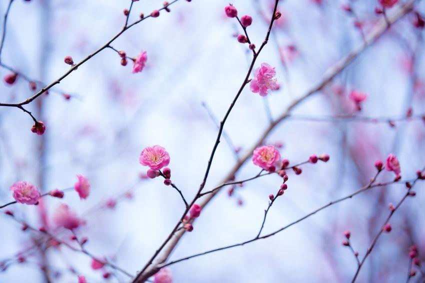 홍매화 Spring Flower Korea Suncheon