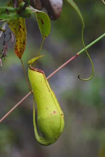 Pitcherplant Kantong Semar Pitcher Plant Pitcher Plants Nephentes Nature Insect Animal Themes Nature Close-up Nature_collection Freshness Naturetheme Nature Themes Nature Photography Naturelover Survival Green Color No People Leaf Plant Outdoors Day Beauty In Nature Grasshopper