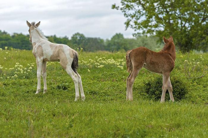 Foal In Field Horses Animal Themes Animals In The Wild Day Domestic Animals Field Foals Full Length Grass Grazing Green Color Horse Photography  Livestock Mammal Nature No People Outdoors Sky Standing Young Animal
