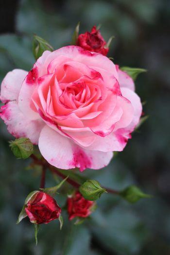 Flowers Flowerporn Flower Collection Roses Rosé Rose🌹 Rosa Beautiful Yekaterinburg