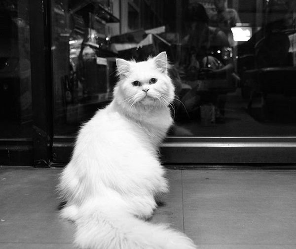 I see you. Baby Kitty Cat Silverpersian Bnw Nostalgia Petcityzen